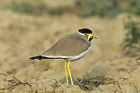 Yellow-wattled Lapwing - Vanellus malabaricus