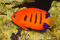 flame angelfish or flame angel, Centropyge loriculus, Indo-Pacific Ocean (c)