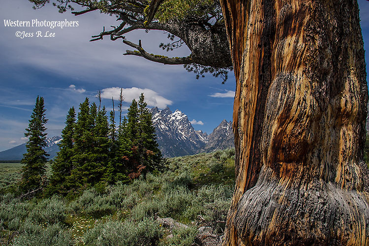 Grand Teton National Park Wyoming, trees