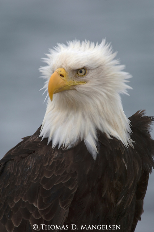 Portrait of a Bald eagle in Homer, Alaska.