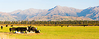 Panoramic Photo of Cows in Fiordland, on the Drive from Queenstown to Milford Sound, South Island, New Zealand. The drive from Queenstown to Milford Sound is stunning, passing beautiful countryside and impressive mountains.