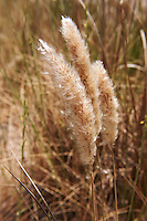 Cotton Grass seeds - Syros, Greece