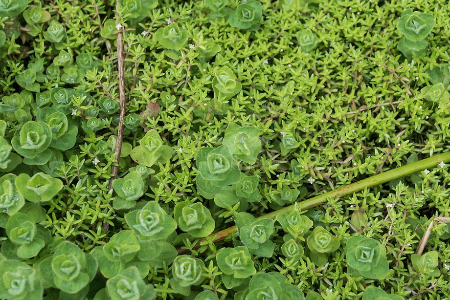 Watercrassula ( Crassula helmsii) met Moeraswederik (Lysimachia thyrsiflora)