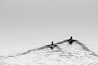 """Cinnamon Teal""  Yellowstone National Park  Madison River 