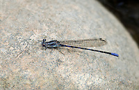 338500004 a wild male kiowa dancer damselfly argia immunda in dark coloration due to cold perchs on a rock in a stream at jewel of the creek conservation area maricopa county arizona