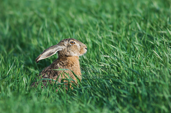Brown Hare, Lepus europaeus, adult in meadow, National Park Lake Neusiedl, Burgenland, Austria, April 2007