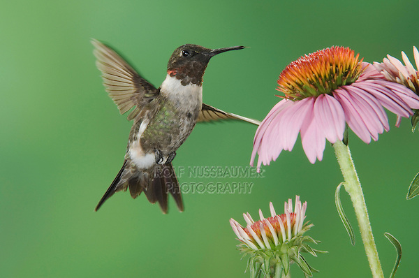 Ruby-throated Hummingbird, Archilochus colubris, male in flight feeding on Purple Coneflower, New Braunfels, Texas, USA, September 2005