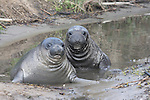 elephant seal weaners in pond