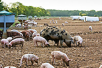 Gloucester Old Spot pig and her piglets, Gloucestershire, United Kingdom