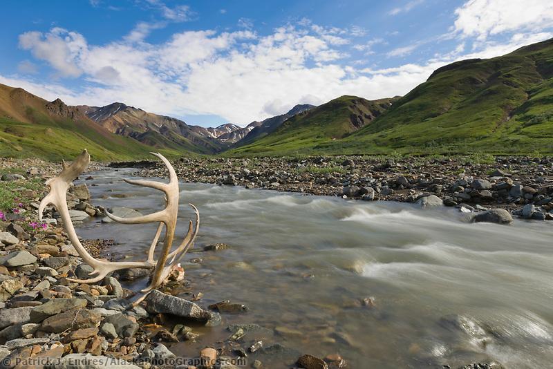 Bull caribou antlers near a mountain stream, dwarf fireweed, Denali National Park, Interior, Alaska.