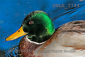 Carl, ANIMALS, wildlife, photos(SWLA3744,#A#)