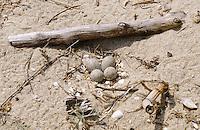 Seeregenpfeifer, See-Regenpfeifer, Nest mit Eiern am Strand, Eier, Ei, Regenpfeifer, Charadrius alexandrinus, Kentish plover