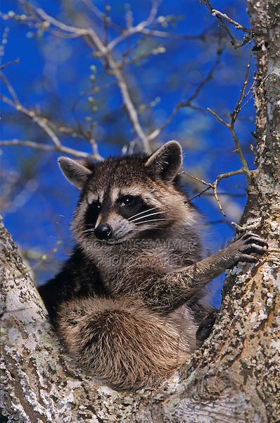 Northern Raccoon, Procyon lotor, adult in tree fork, Welder Wildlife Refuge, Sinton, Texas, USA