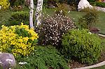 11719-EV Shrub Bed, New Zealand Tea Tree, Leptospermum scoparium, Japanese Garden Juniper, Juniperus procumbens nana, Evergreen Euonymus, Euonymus japonica `Aureo-Variegata', Pittosporum tobira 'Wheeler's Dwarf', at Bakersfield, CA USA