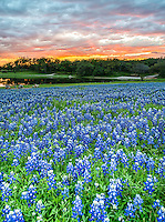 Sunset Over Bluebonnets2 - This is an incredible sunset over County Park outside of Austin over a field of bluebonnets.  The bluebonnets were great on this evening loved all the colors with this incredible fiery sunset.