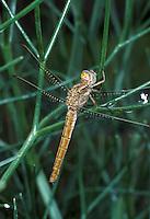 Südliche Heidelibelle, Weibchen, Sympetrum meridionale, Southern Darter, Le Sympétrum méridional, female