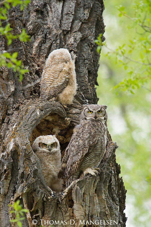 A great horned owlet perches above its parent and sibling as they sit in their nest in the heart-shaped hollow of a cottonwood tree in Grand Teton National Park, Wyoming.