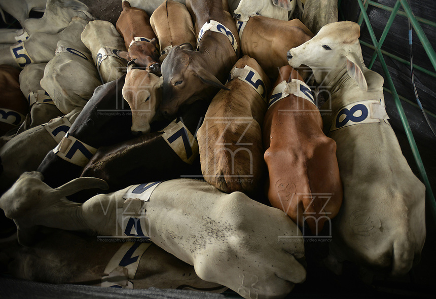 VILLAVICENCIO - COLOMBIA. 13-10-2018: Ganado es visto durante el 22 encuentro Mundial de Coleo en Villavicencio, Colombia realizado entre el 11 y el 15 de octubre de 2018. / Cows are seen during the 22 version of the World  Meeting of Coleo that takes place in Villavicencio, Colombia between 11 to 15 of October, 2018. Photo: VizzorImage / Gabriel Aponte / Staff