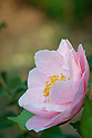 Camellia japonica 'Hana Fuki', late March.