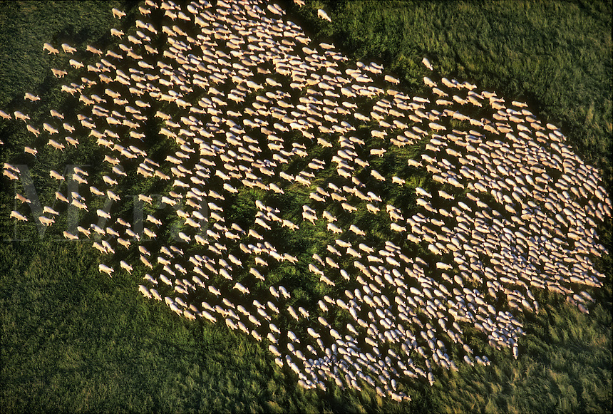 Sheep, Berryessa, California