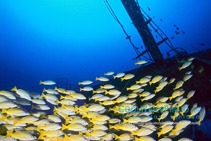 bluestripe snappers, Lutjanus kasmira, schooling at Sailboat Wreck, taape in Hawaiian, introduced species as food source, Kailua Bay, Kona Coast, Big Island, Hawaii, USA, Pacific Ocean