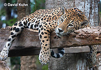 0522-1108  Goldman's Jaguar, Belize, Panthera onca goldmani  © David Kuhn/Dwight Kuhn Photography