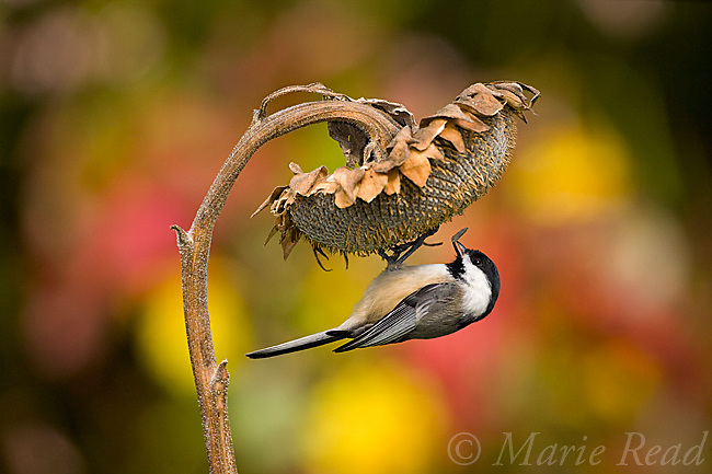Black-capped Chickadee (Poecile atricapilla) clinging to take a seed from sunflower seedhead in autumn, New York, USA