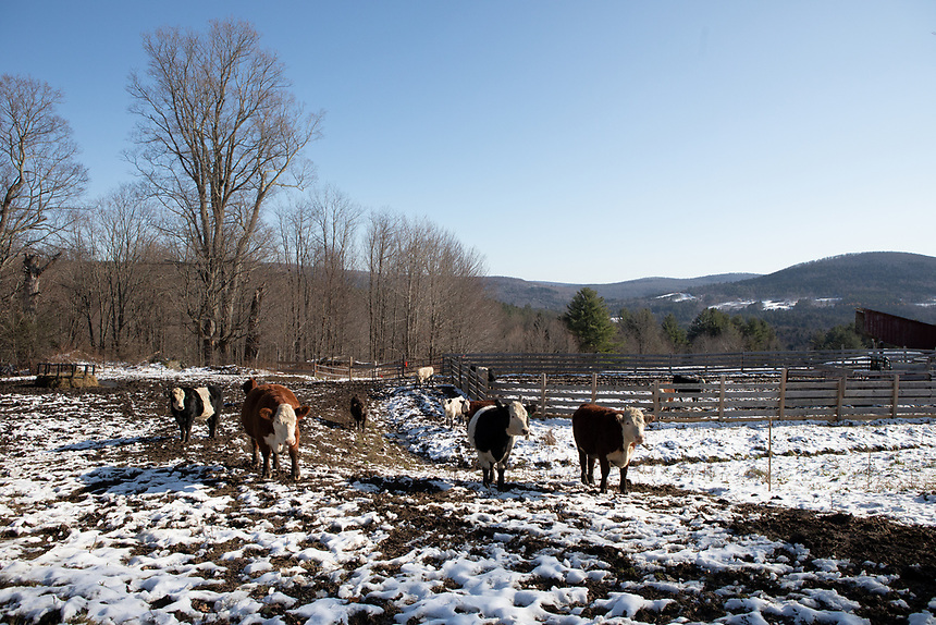 NORTHFIELD, VERMONT -  Falling Damps Farm. There are four different breeds of cattle on his farm. Herefords, Belted Galloway, Brittish White and Murray Grey.