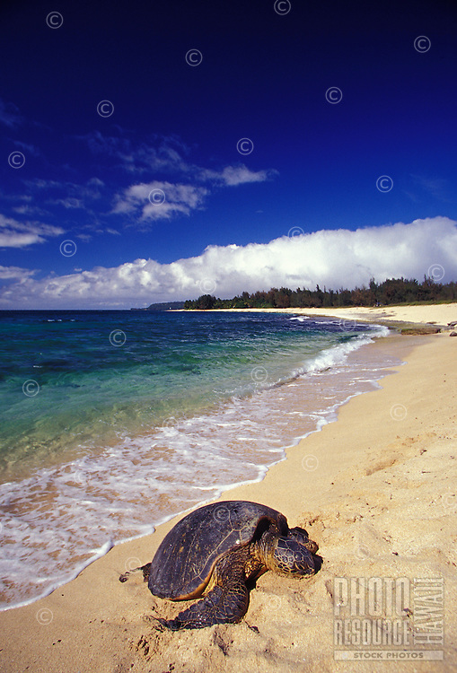 Green Sea Turtle, a protected species, haled out on a remote beach with blue green ocean in back, North Shore of Oahu, Hawaii