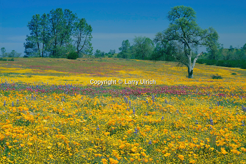 California poppies, goldfields, purple owl's-clover<br />  and Douglas' lupine<br /> Shell Creek Valley,  Avenales Wildlife Area<br /> San Luis Obispo County,  California