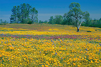 California poppies, goldfields, purple owl's-clover<br />