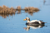 Male spectacled eider duck swims in a small tundra pond in Alaska's Arctic.