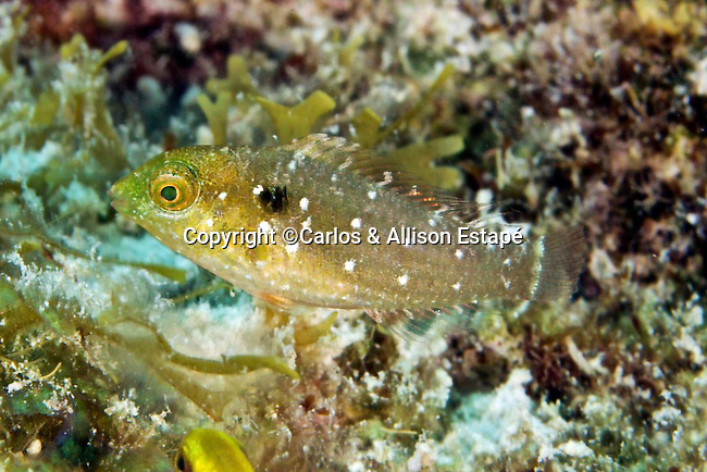 Sparisoma viride, Stoplight parrotfish, juvenile, Florida Keys