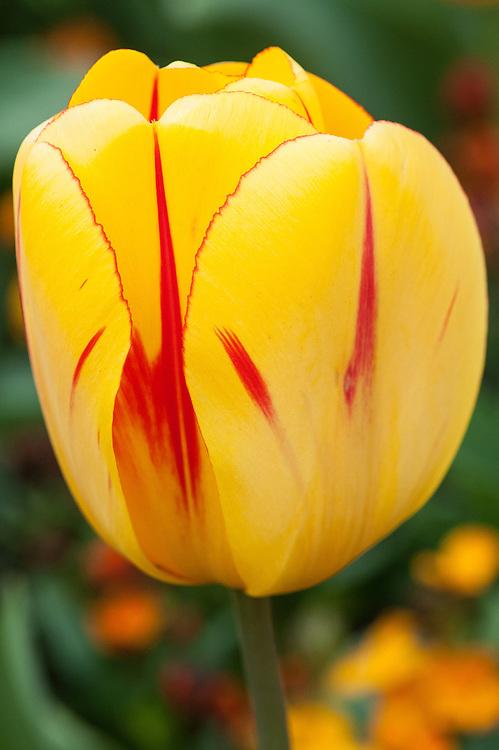 Tulipa 'Olympic Flame' (Darwin Hybrid Group), mid April.