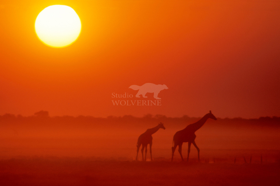Giraffe (Giraffa camelopardalis) bij zonsondergang