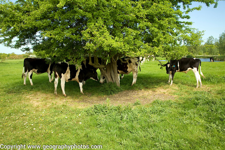Young bullock calves under a tree, River Stour, Dedham Vale, Essex Suffolk border, England