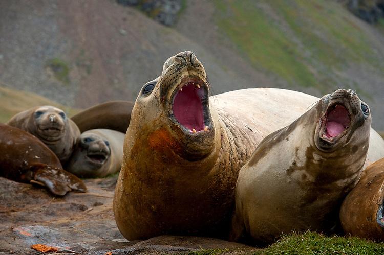 Southern elephant seal (Mirounga leonina) roaring and showing dominant behaviour, Grytviken, South Georgia