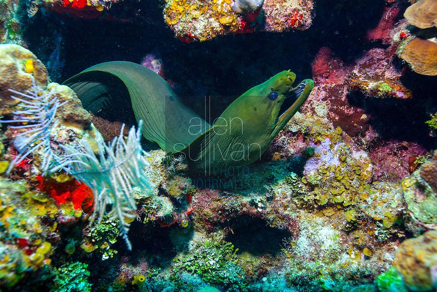 Green moray eel (gymnothorax funebris) among coral; Roatan, Honduras.