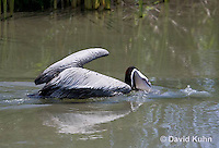 0828-0904  Brown Pelican Swimming in Marsh Drinking and Hunting for Fish, Pelecanus occidentalis © David Kuhn/Dwight Kuhn Photography