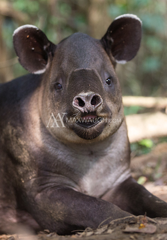 One of the tapir's best tools is its sense of smell.