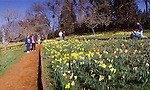 Yellow daffodils in spring in bloom at Daffodil Hill near Volcano, Amador County, Calif.