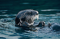 Sea Otter, Enhydra lutris, adult eating Shells, Seward, Alaska, USA, March 2000