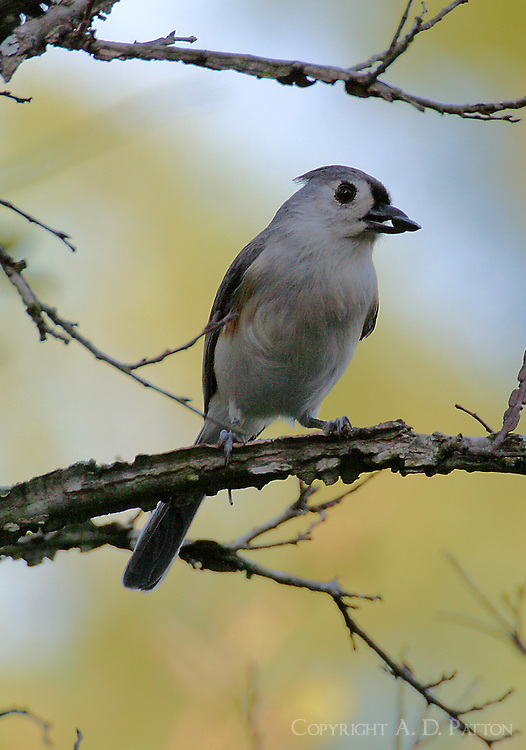 The Northern version of the tufted titmouse is the common titmouse in the northeast. This adult bird was in my backyard in College Station, Texas. The season was spring.