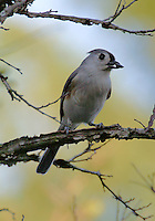 Tufted (Northern) Titmouse