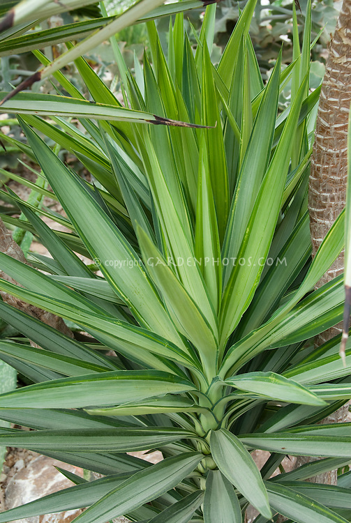 Spineless variegated Yucca, Yucca elephantipes 'Silver Star'