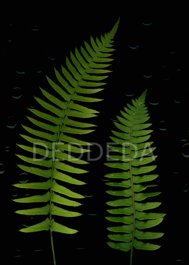 Native sword fern leaves with water droplets.