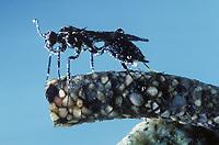 Köcherfliegen-Schlupfwespe, Köcherfliegenschlupfwespe, Wasserschlupfwespe, Wasser-Schlupfwespe, Weibchen unter Wasser legt Eier in den Köcher einer Köcherfliege, Agriotypus armatus, Agriotypus abnormis, Agriotypidae