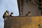Monkeys sit on Balcony in downtown Lop Buri
