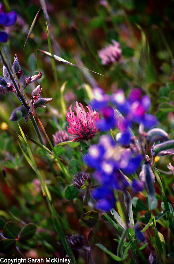 Red Clover Hiding in Lupine