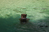 A photo of a grizzly sitting in a pool of clear water surrounded by salmon. Grizzly Bear or brown bear alaska Alaska Brown bears also known as Costal Grizzlies or grizzly bears